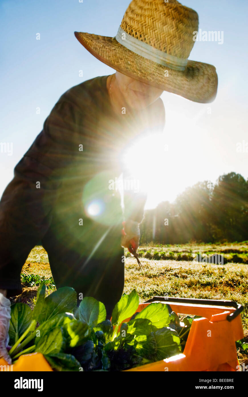 Tatsoi granja orgánica - productor orgánico certificado Imagen De Stock