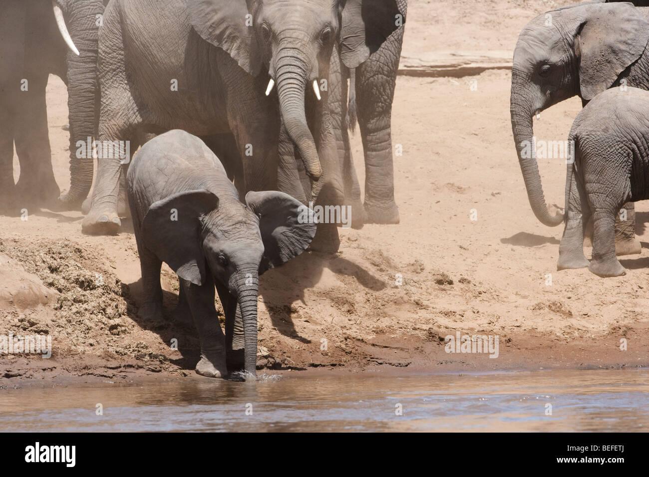 Funny lindo bebé orejas de elefante africano, el tronco en agua, deslizándose por la suciedad riverbank para tomar una copa, supervisado por la madre elefante Masai Mara, Kenya Foto de stock