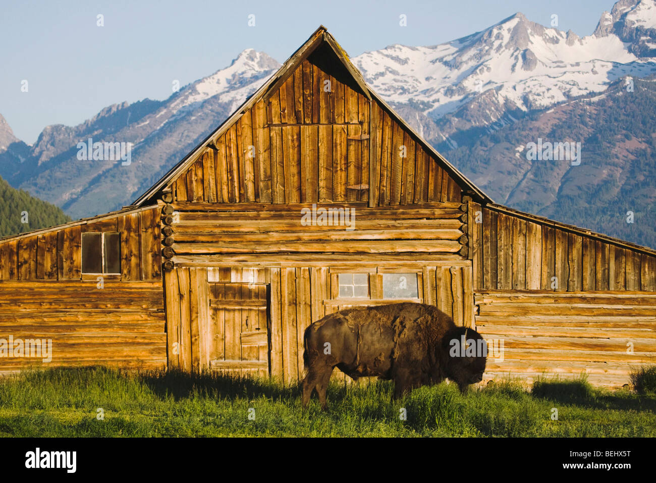 Bisontes americanos, Buffalo (Bison bison) adulto delante del antiguo granero de madera y el Grand Teton range, Imagen De Stock
