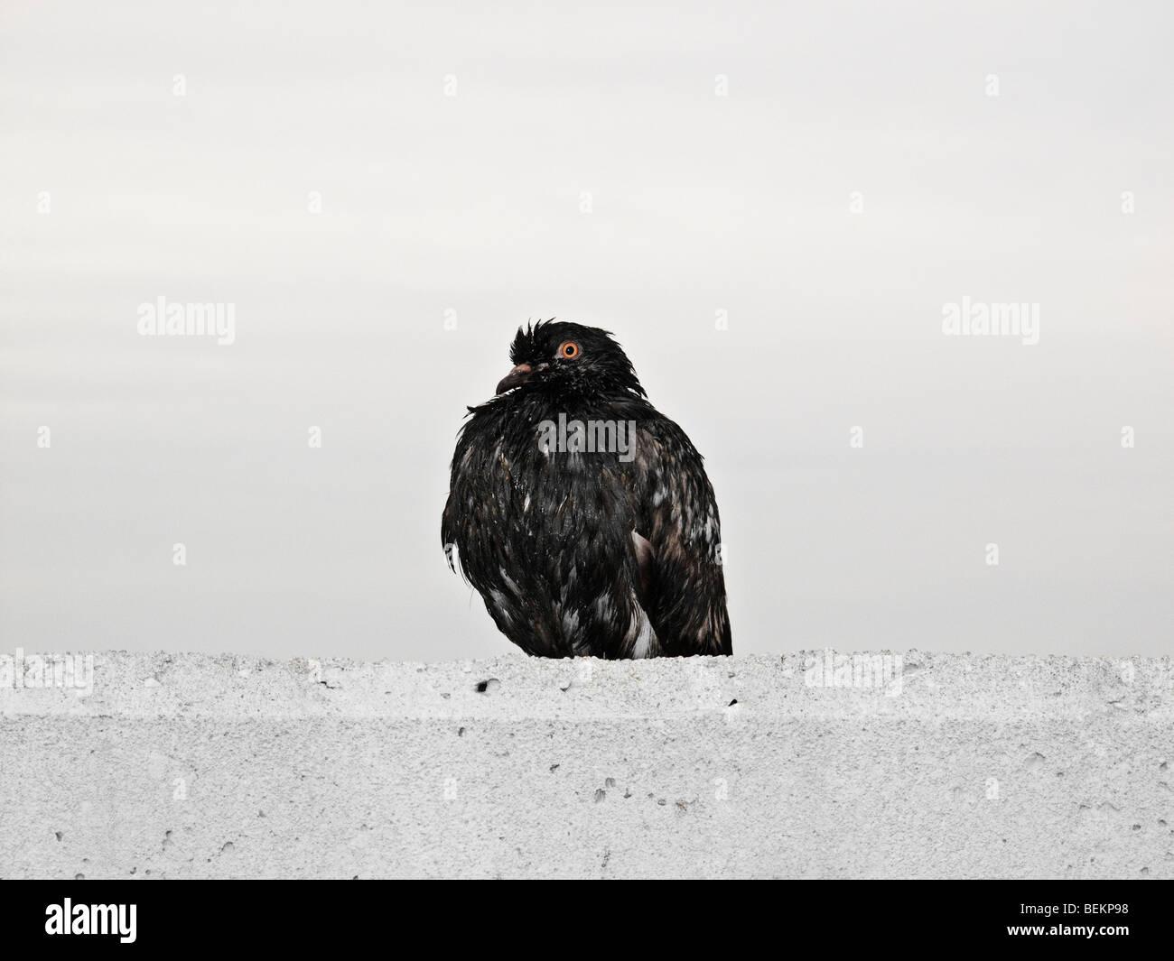 Feroz Pájaro Negro mirando hacia los lados Imagen De Stock