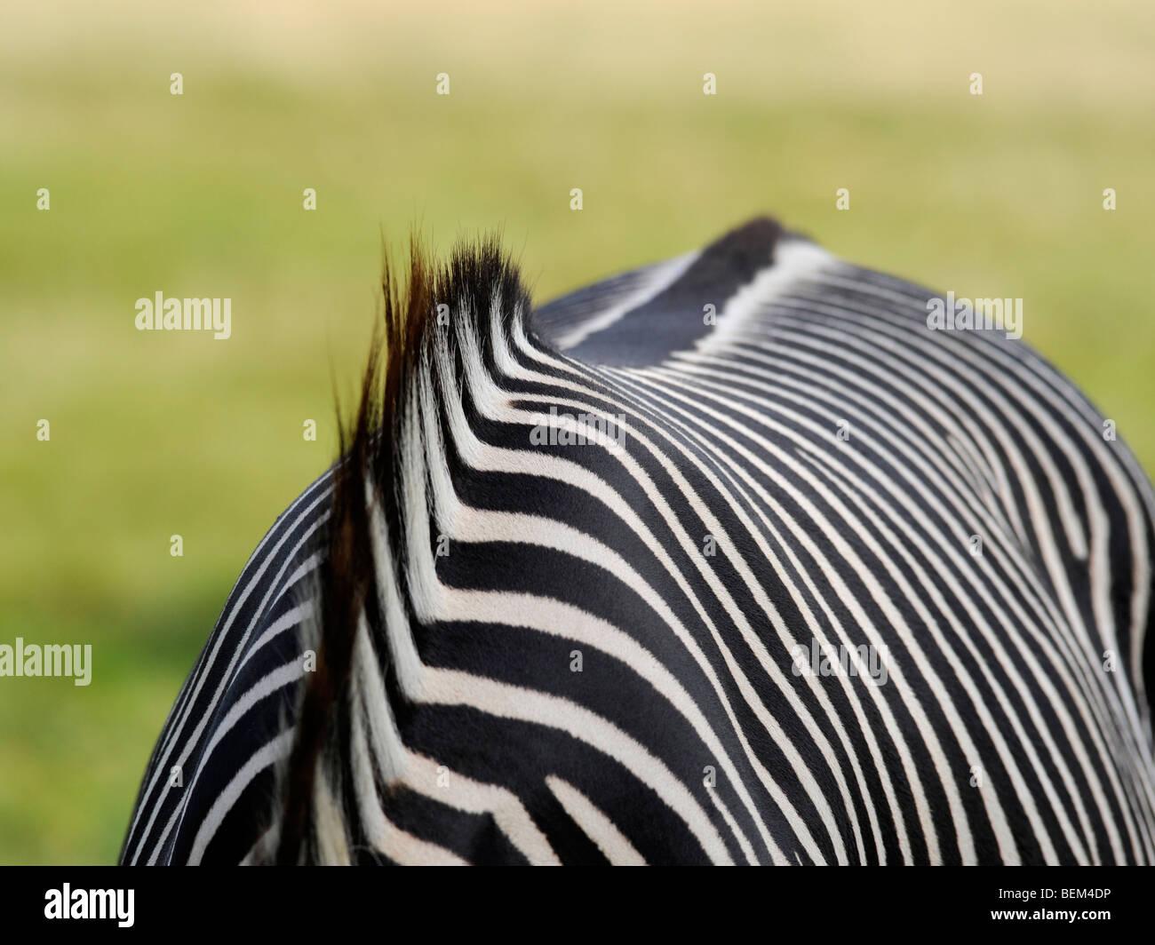 El escudo de una cebra con una melena de rayas. Imagen De Stock
