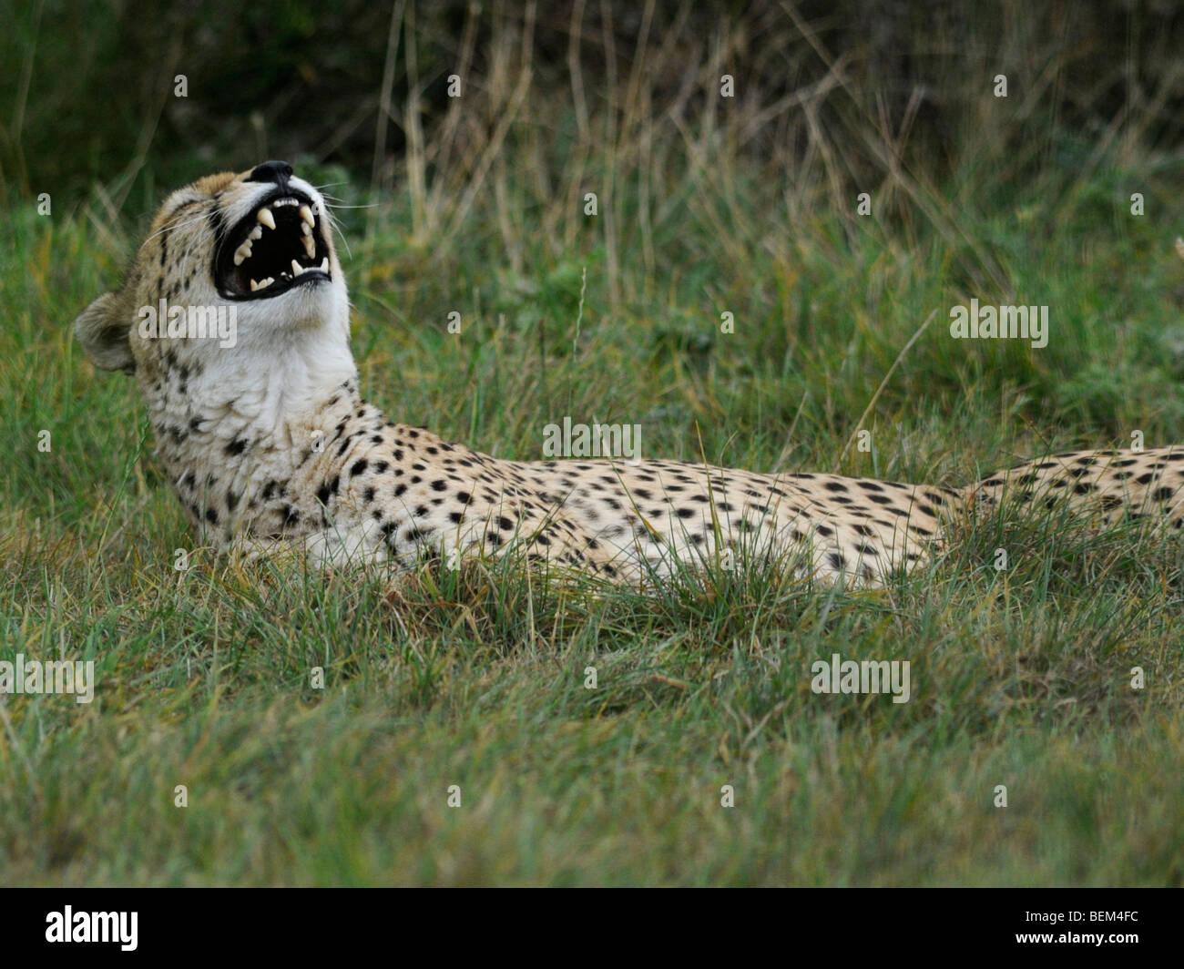 Un guepardo riendo ' divirtiéndose. Imagen De Stock