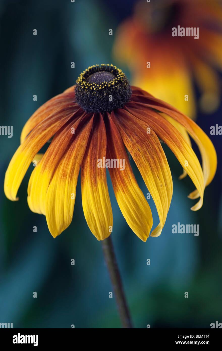 Rudbeckia [Gloriosa Daisy] Foto de stock