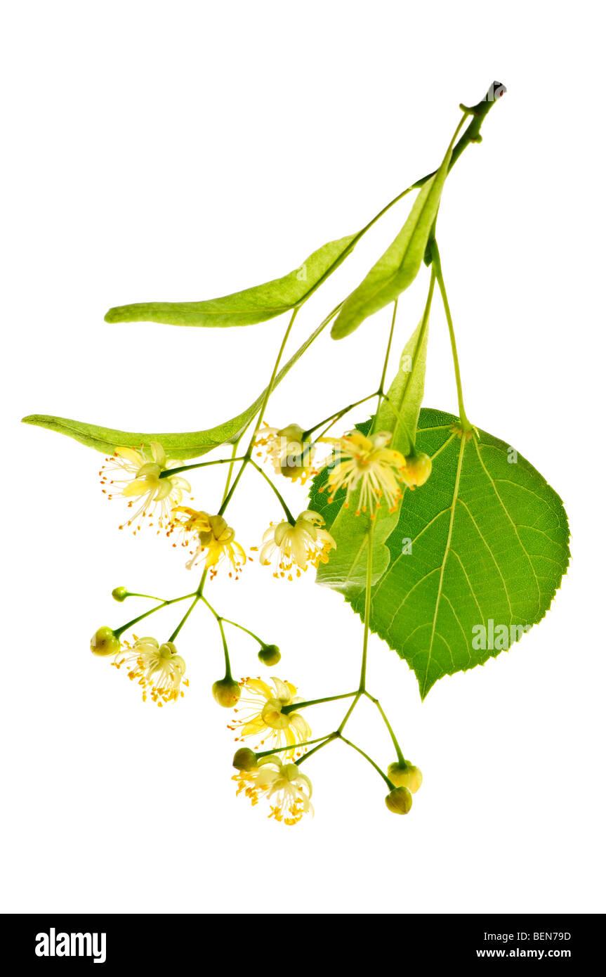 Imagen aislada de flor de tilo y sucursal amarillo Imagen De Stock