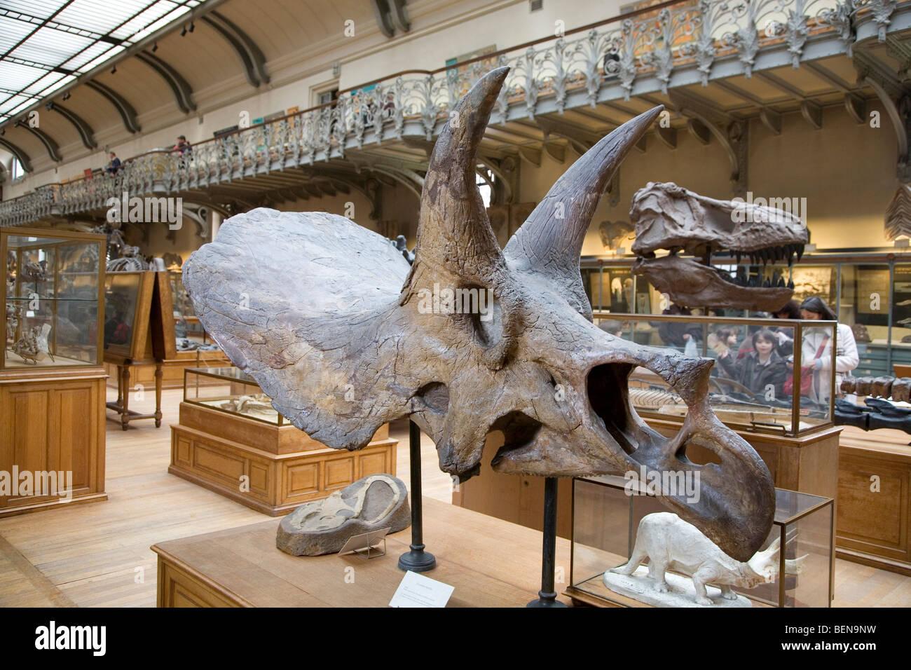 Triceratops cráneo en la galería de la paleontología y la anatomía ...