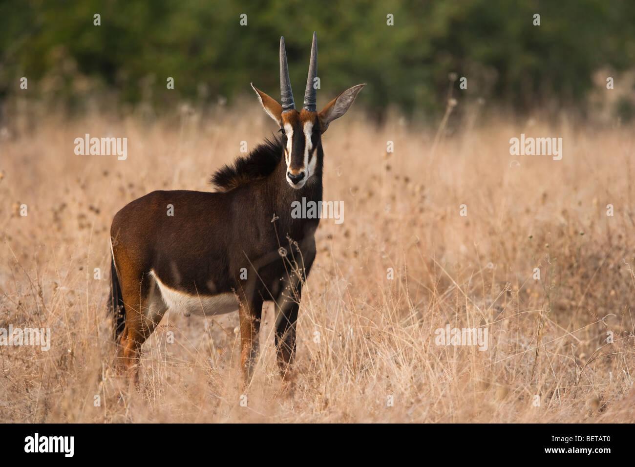 Bebé sable antelope frente perfil en campo abierto de los altos pastos secos, contacto visual, luz cálida, Botswana safari vista, región del Delta del Okavango Foto de stock