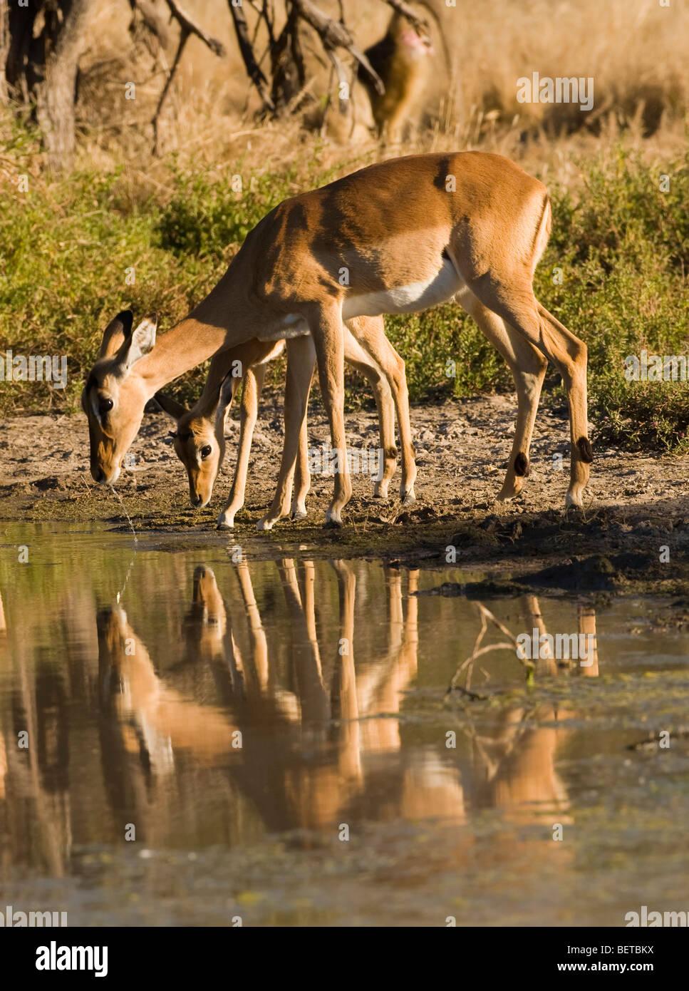 Detener la acción close-up baby & madre Impala interrumpido al beber en Waters Edge, reflejo de espejo, follaje verde fondo Okavango, Botswana, África Foto de stock