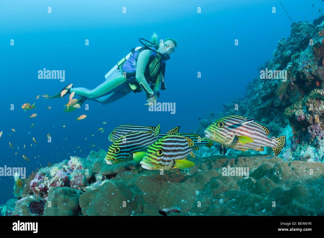 Sweetlips orientales y buzo, Esquina Plectorhinchus orientalis, cacao, South Male Atoll, Maldivas Imagen De Stock