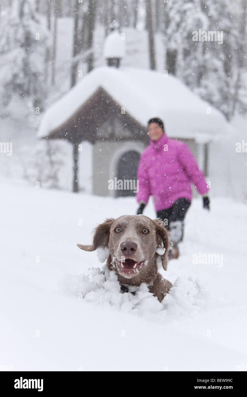 Perro que sobresale de la nieve profunda, una persona en el fondo, Elsbethen, Salzburger Land, Austria Imagen De Stock