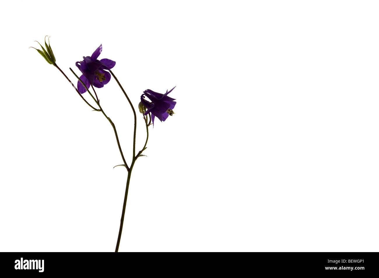Una caja luminosa fotografía de una flor aquilegia Foto de stock
