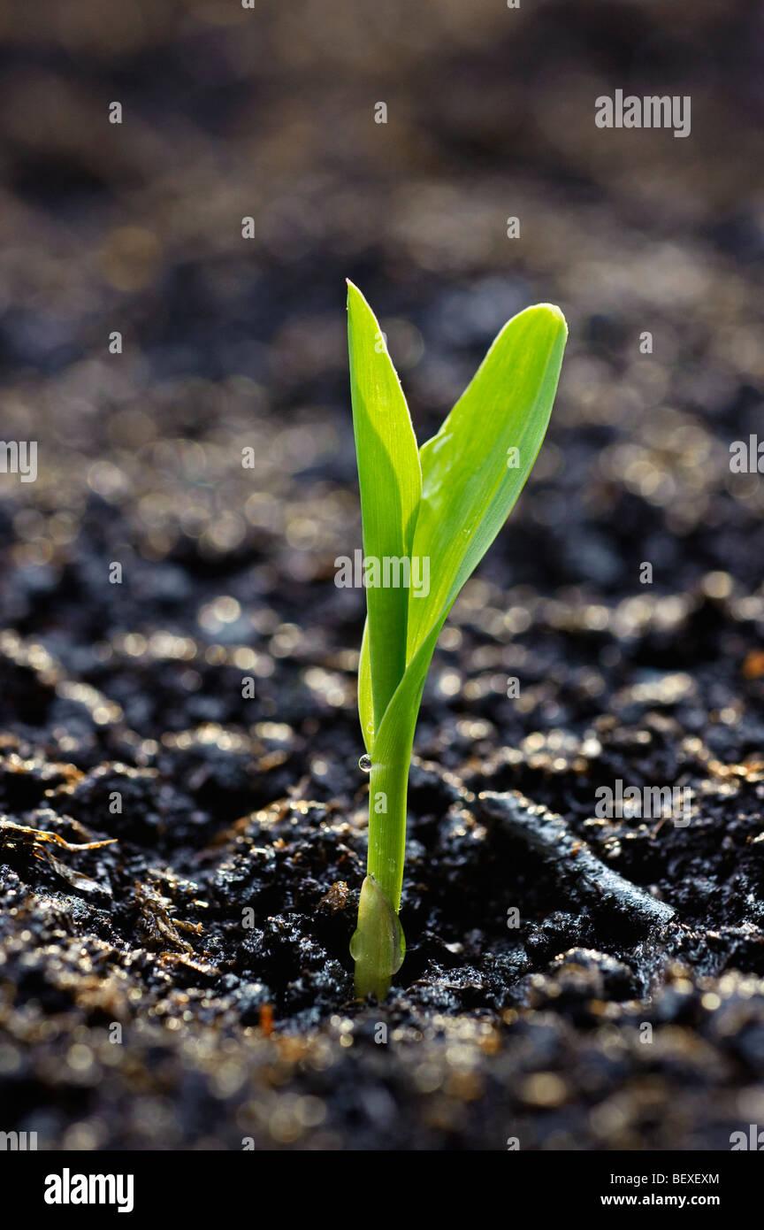 Agricultura - una plántula de maíz surge de la tierra en las primeras horas de la mañana de luz / Imagen De Stock