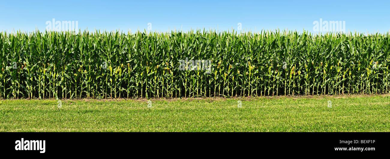 Agricultura - Sideview de un rodal de mediados de crecimiento del maíz, totalmente tasseled con orejas en desarrollo Imagen De Stock