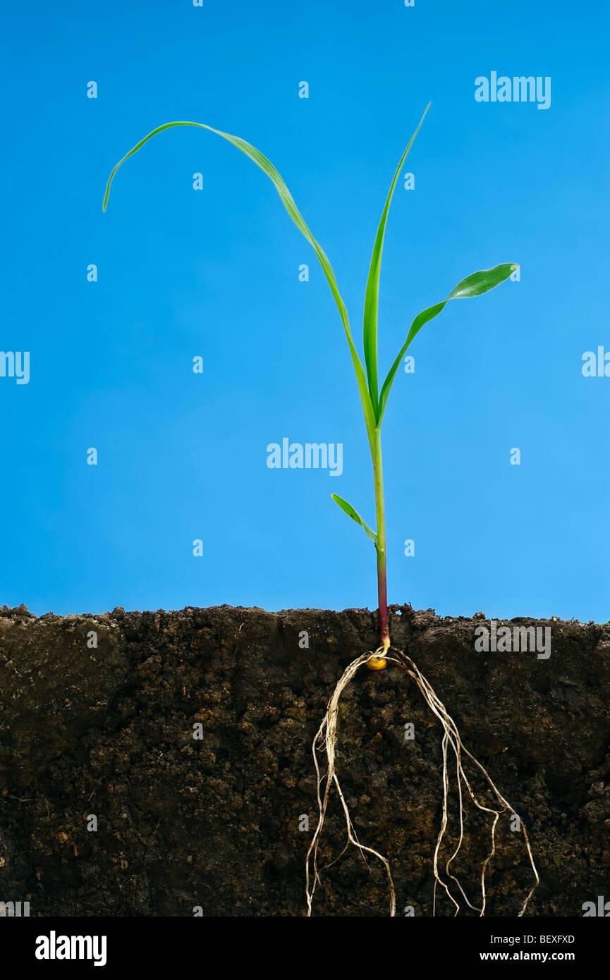 Agricultura - El crecimiento temprano el grano de maíz en la planta tres hojitas que muestra la estructura Imagen De Stock
