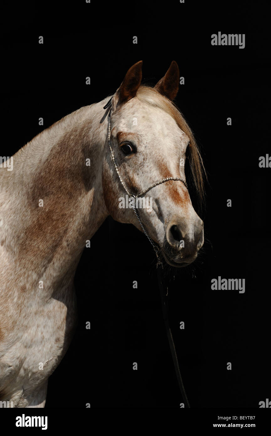 AraAppaloosa caballo (Equus caballus). Retrato de un semental. Esta raza es una mezcla de árabe y Appaloosa. Imagen De Stock