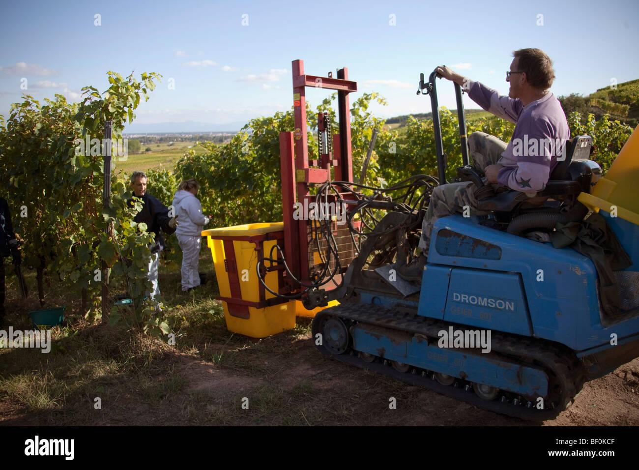 Vendanges tractor cosecha de uvas de Alsacia a lo largo de la route des vins aldeas, Otoño, Haut Rhin Alsacia, Imagen De Stock