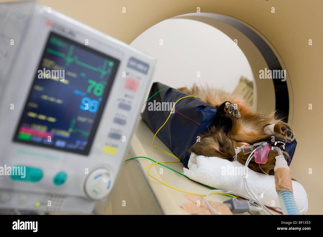Un perro dachshound sufre una tomografía computarizada, en una clínica veterinaria en japonés. Foto de stock