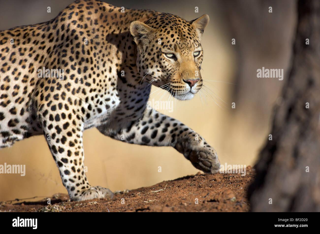 Cerrar o un leopardo (Panthera pardus) acecho,El Okonjima Lodge y la Fundación Africat, Namibia Imagen De Stock