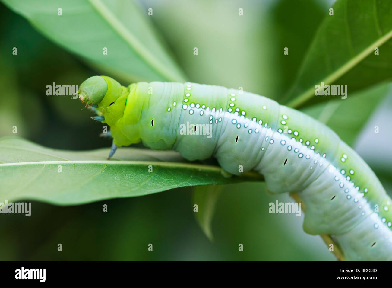 Dafnis nerii. Adelfa Hawk-moth caterpillar en una hoja en la India Foto de stock