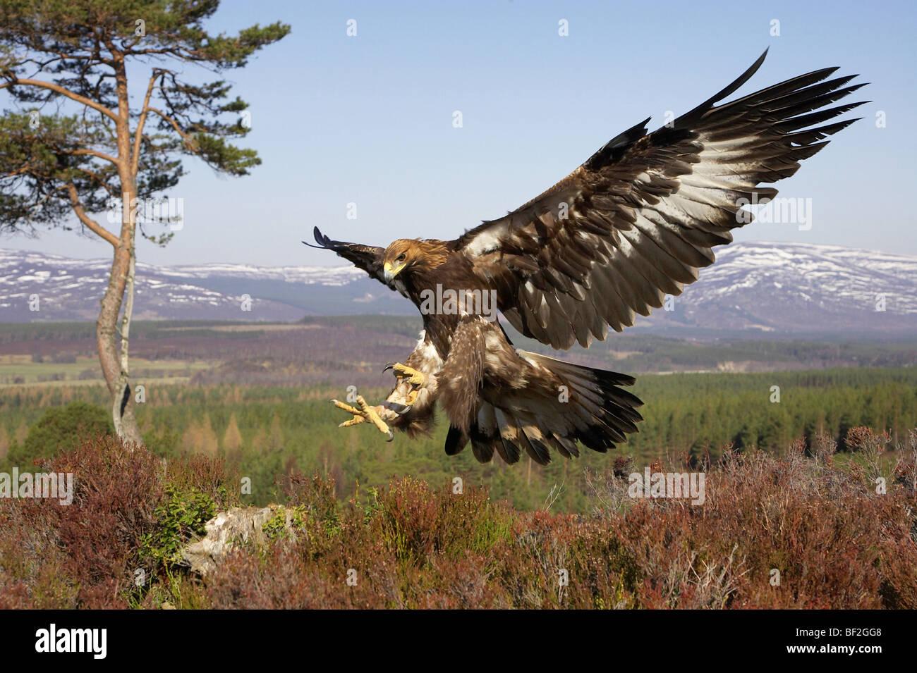 Águila Real (Aquila chrysaetos), en vuelo en hábitat de montaña preparándose para aterrizar Imagen De Stock
