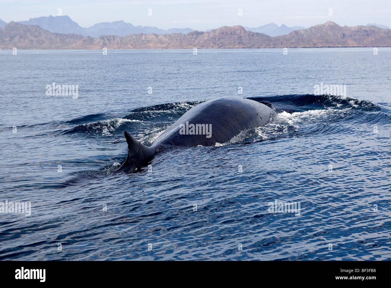 Rorcual común, ballena Finback, Rorqual común (Balaenoptera physalus) nadando en la superficie. Foto de stock