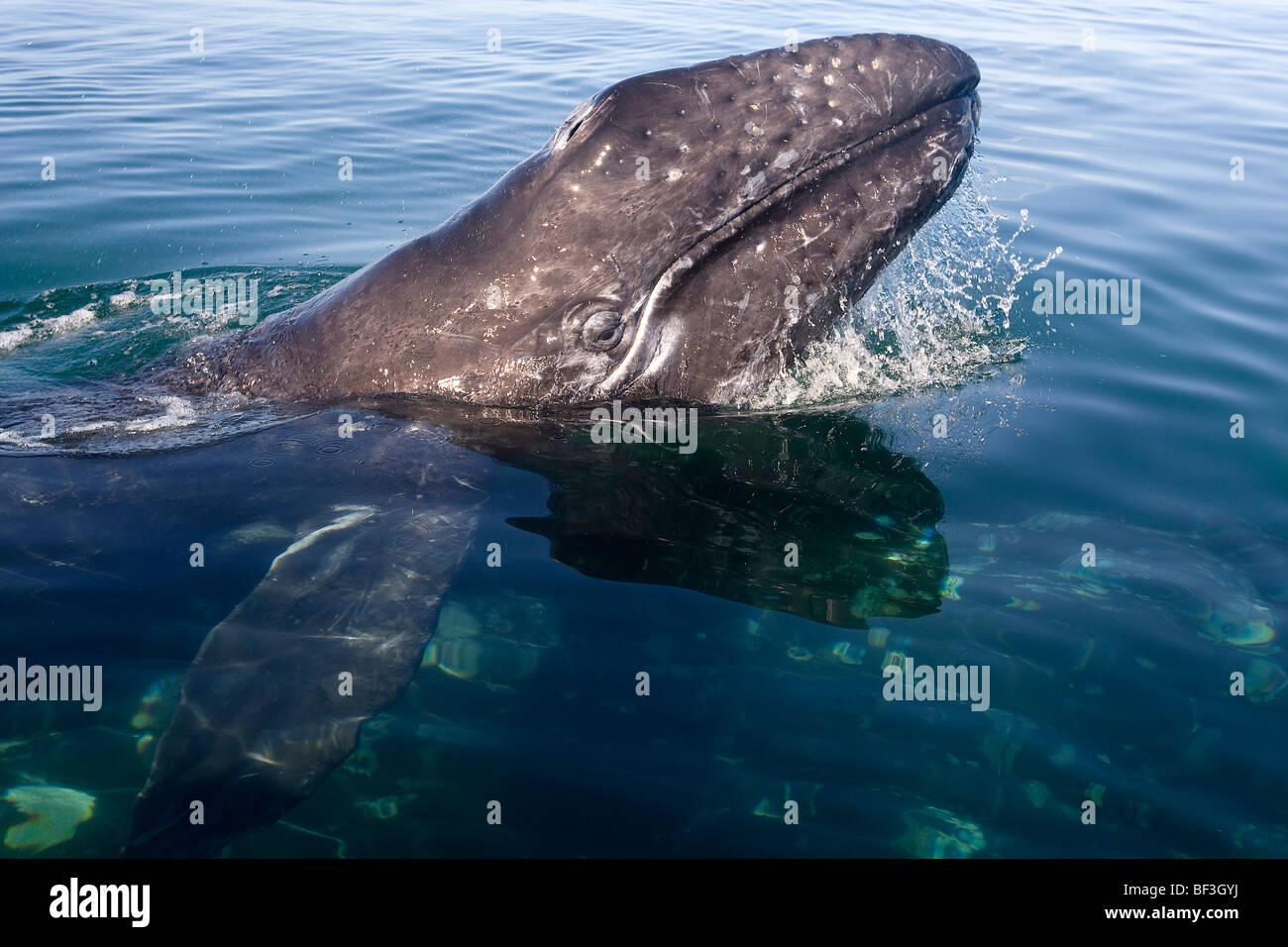 La ballena gris, la ballena gris (Eschrichtius robustus, Eschrichtius gibbosus). Ternera con cabeza levantada por Imagen De Stock