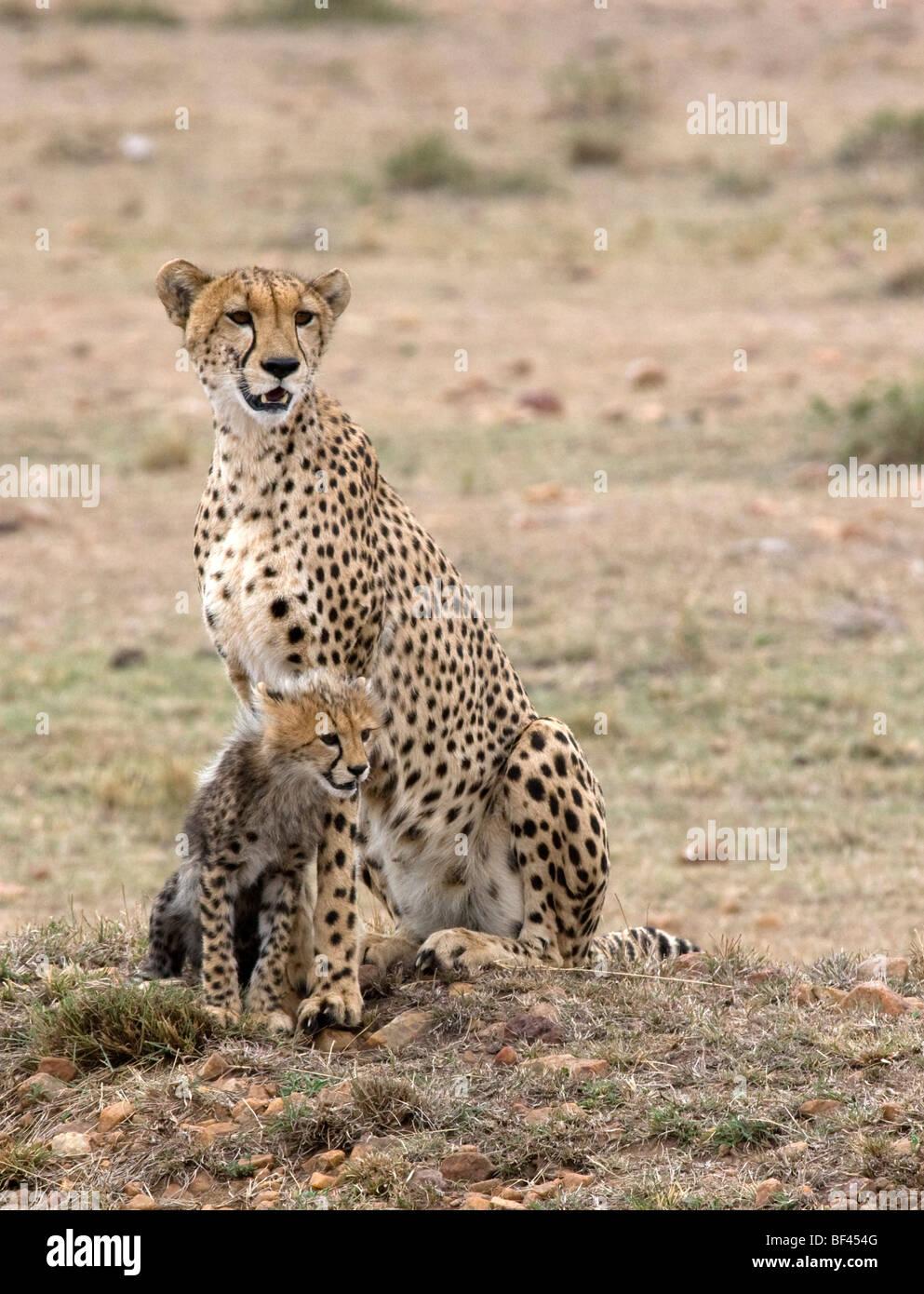 Cheetah con su cub Foto de stock