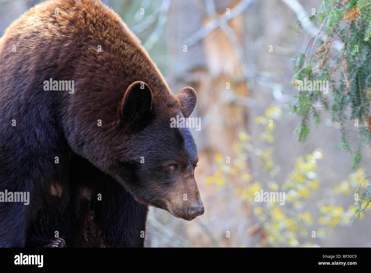 Oso negro americano (Ursus americanus). Adulto Cinnamon Bear en el bosque. Imagen De Stock