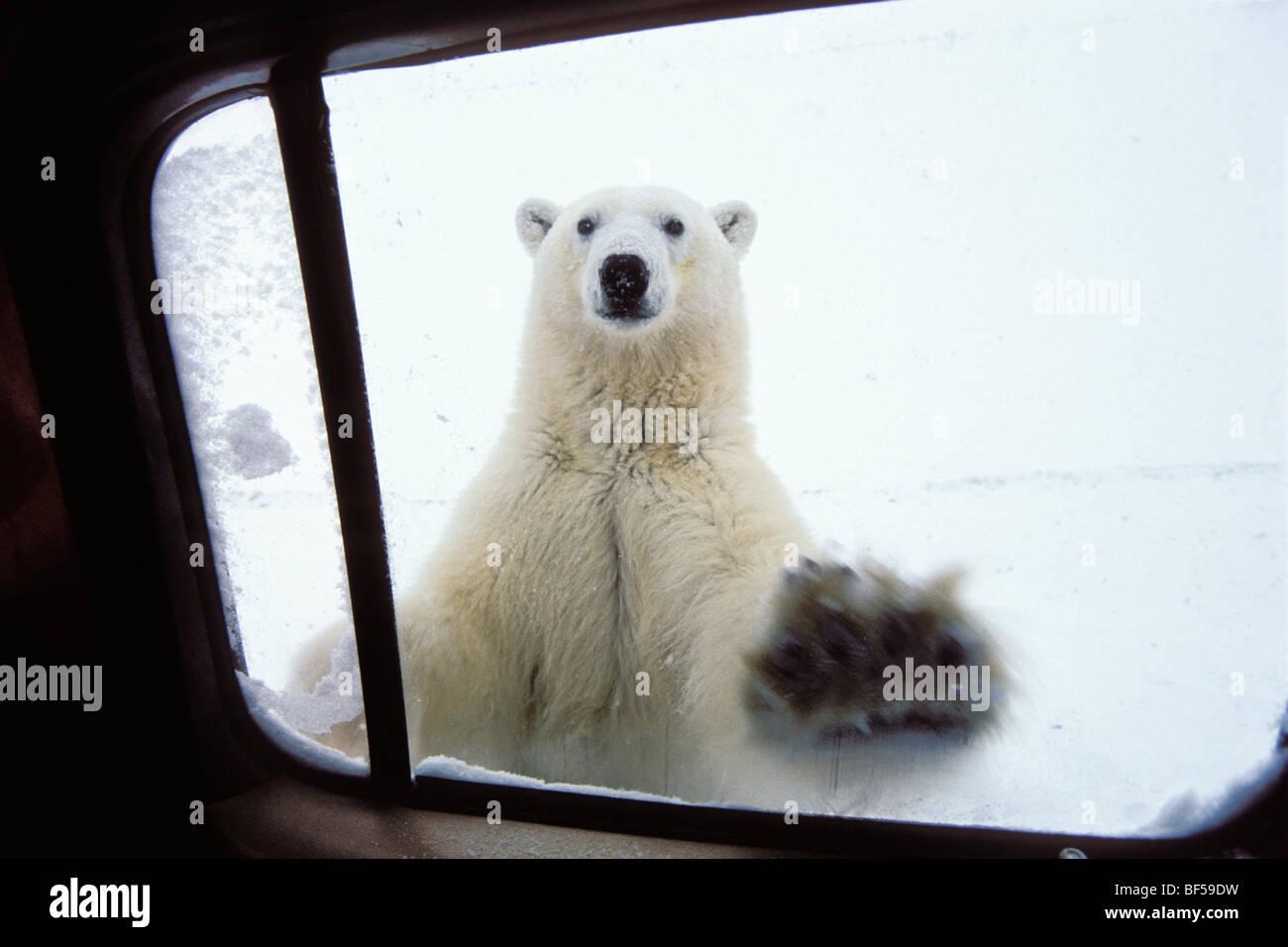 Polarbear (Ursus maritimus) en ventanilla, Churchill, Canadá Imagen De Stock