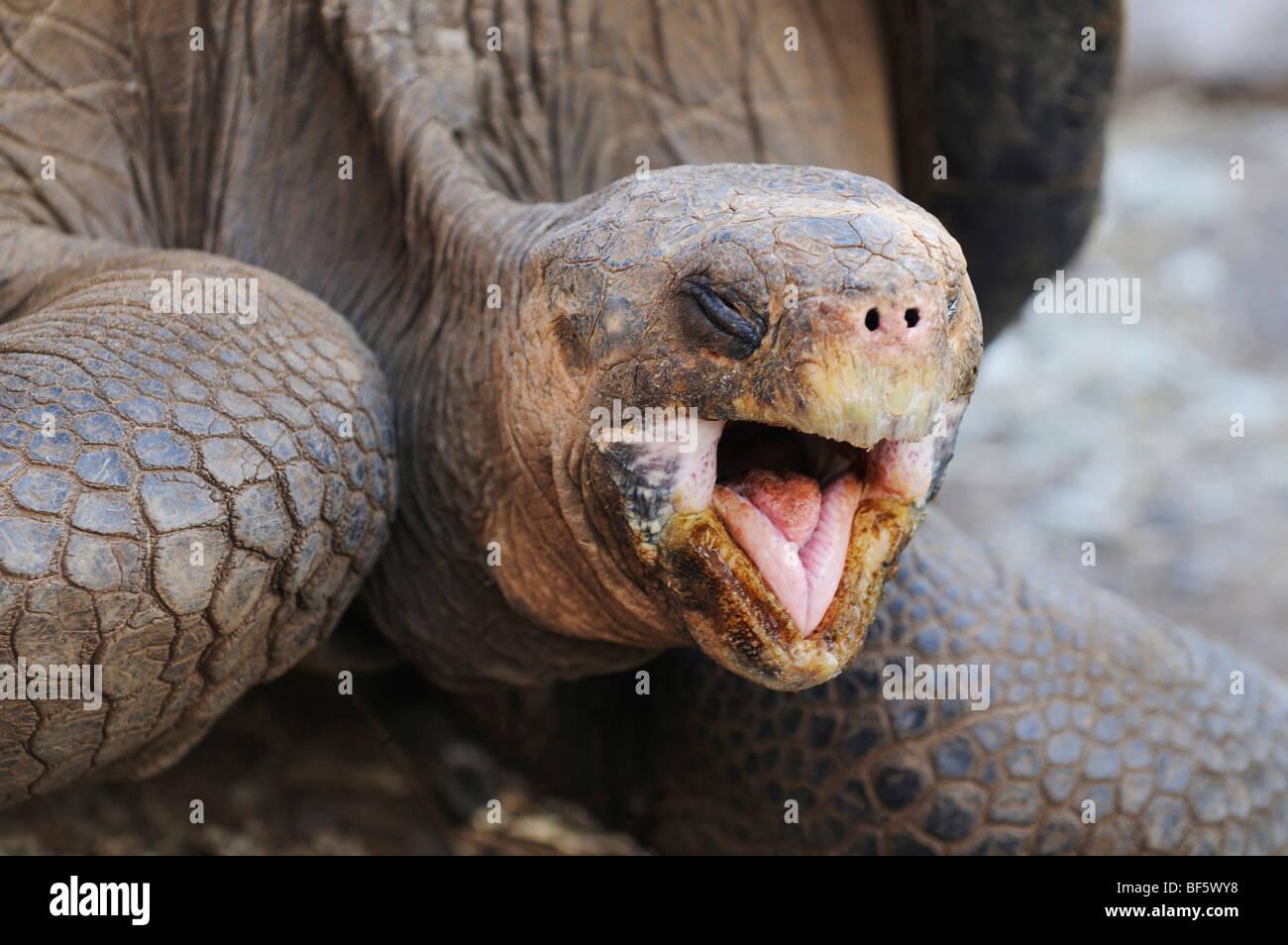 Tortuga Gigante de las Galápagos (Geochelone elephantopus), adulto, las Islas Galápagos, Ecuador, Sudamérica Imagen De Stock