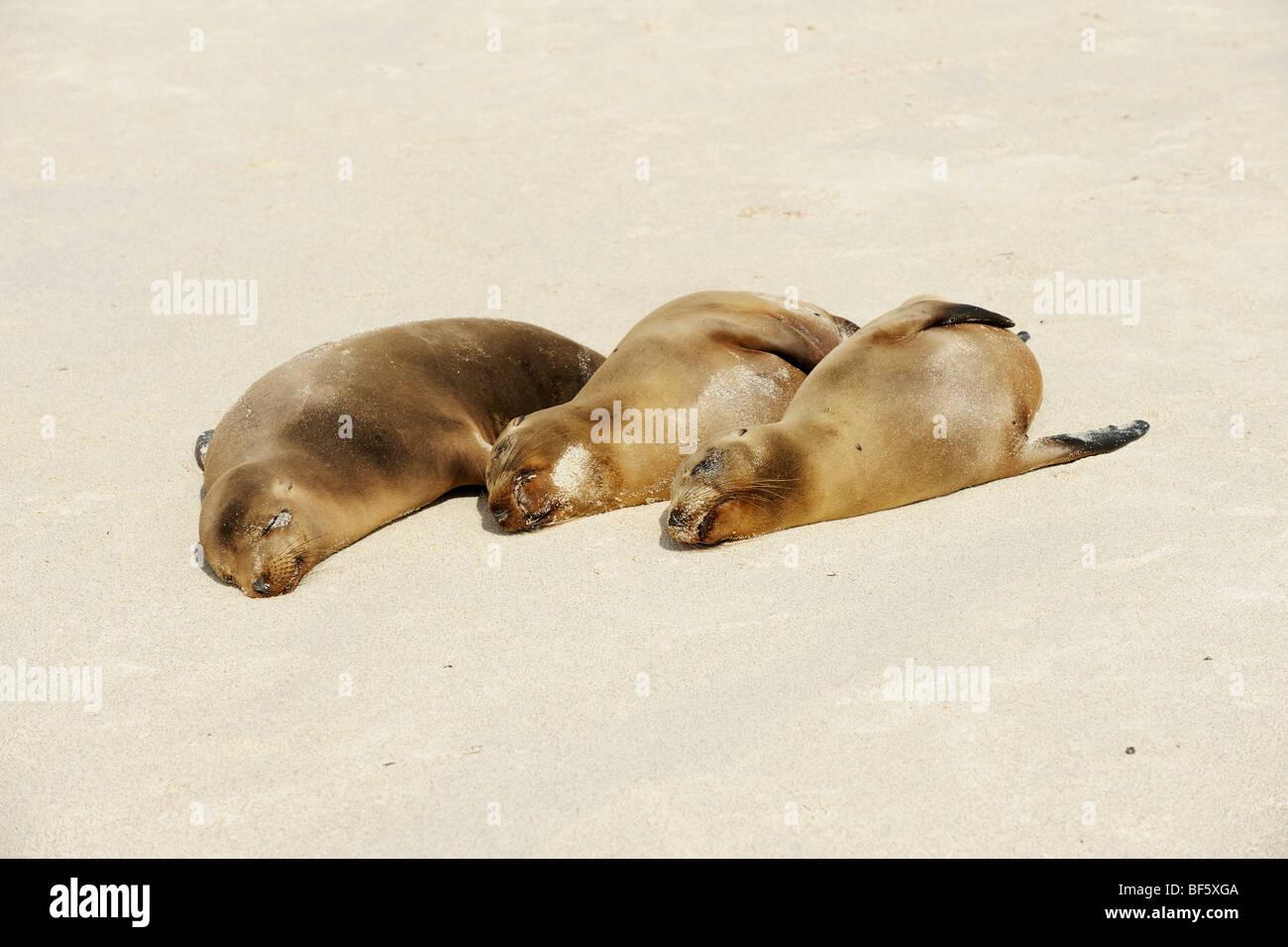 Lobo de mar de Galápagos (Zalophus wollebaeki), adultos en playa, Espanola Isla Galápagos, Ecuador, Sudamérica Foto de stock