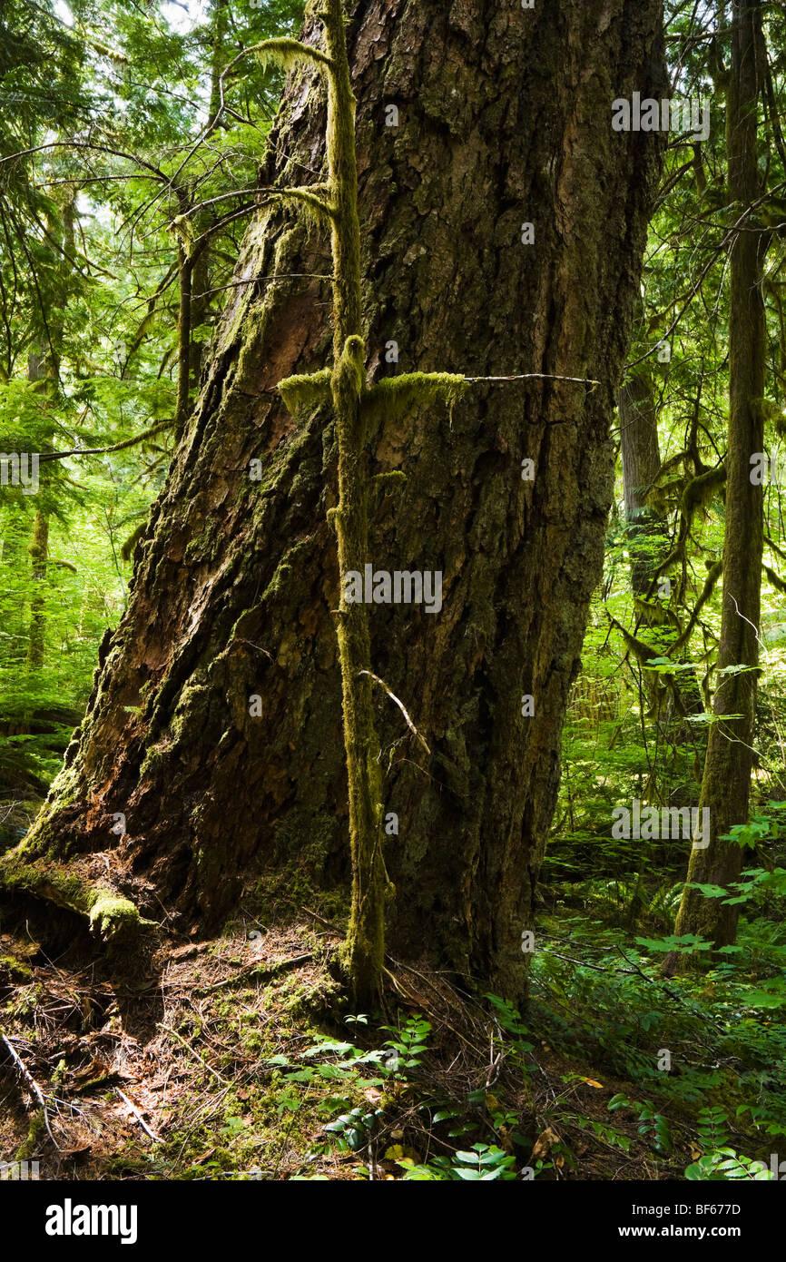 La base y bajar el tronco de un árbol de abeto Douglas en un bosque. Cascadas del Norte, Washington, EE.UU. Imagen De Stock