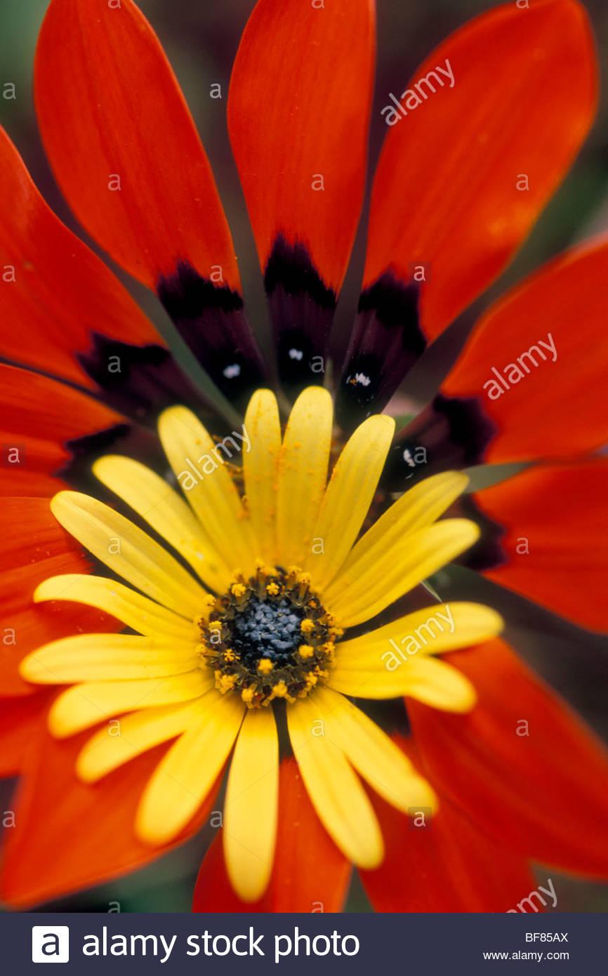 Paracaídas de ojos brillantes, Daisy Ursinia cakilefolia y gazania Gazania, rigida, Niewoudtville, Sudáfrica Foto de stock