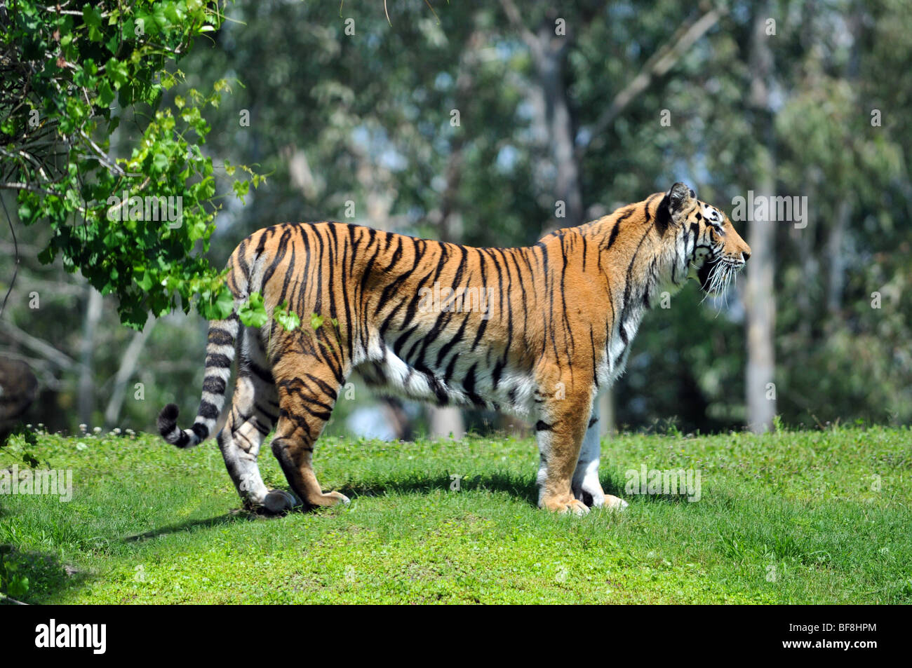 Bengal im genes de stock bengal fotos de stock alamy for Bengala asia