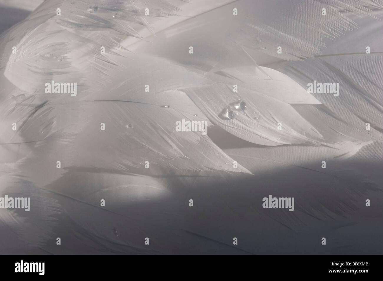Plumas de cisne blanco delicadas gotas de agua pura Imagen De Stock