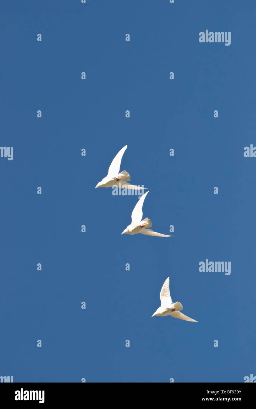 Tres Palomas Blancas Volando Alto Y Rápido En La Trama Foto Imagen