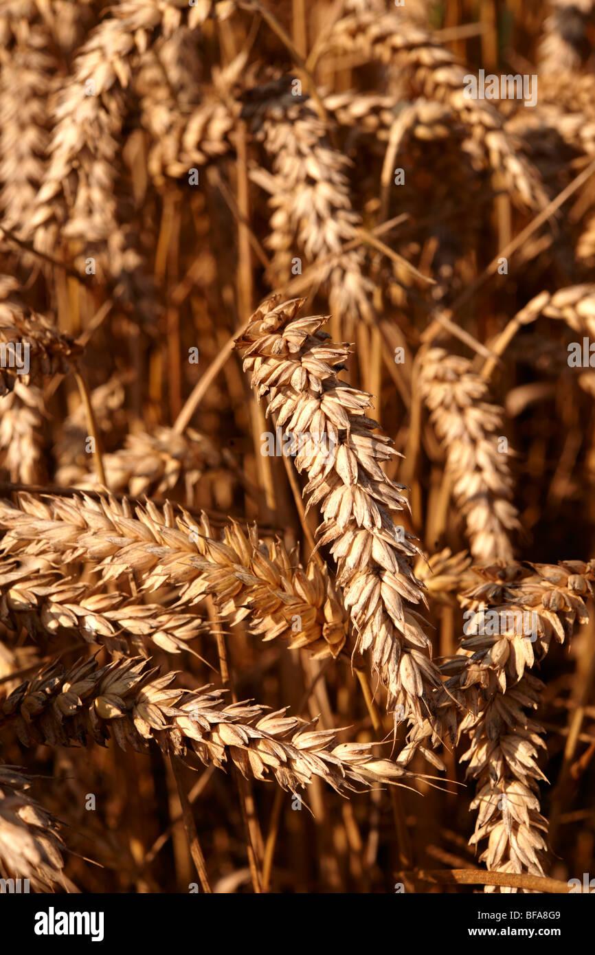 Campo de trigo listo para cosechar Imagen De Stock