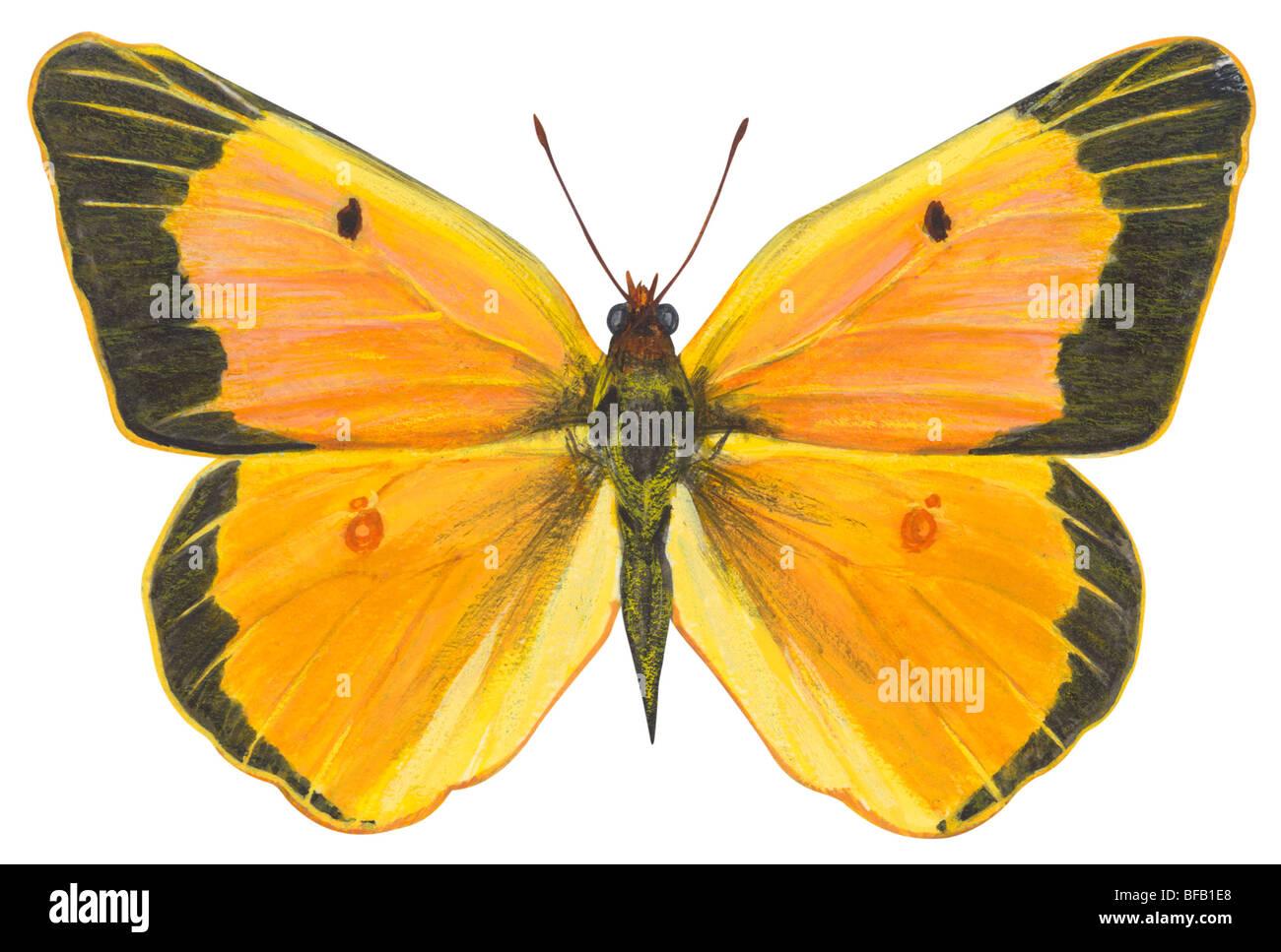 Mariposa de azufre nublado Foto de stock
