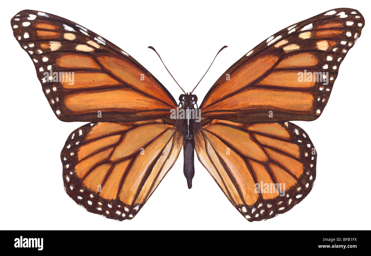 Mariposa monarca (Danaus plexippus). Foto de stock