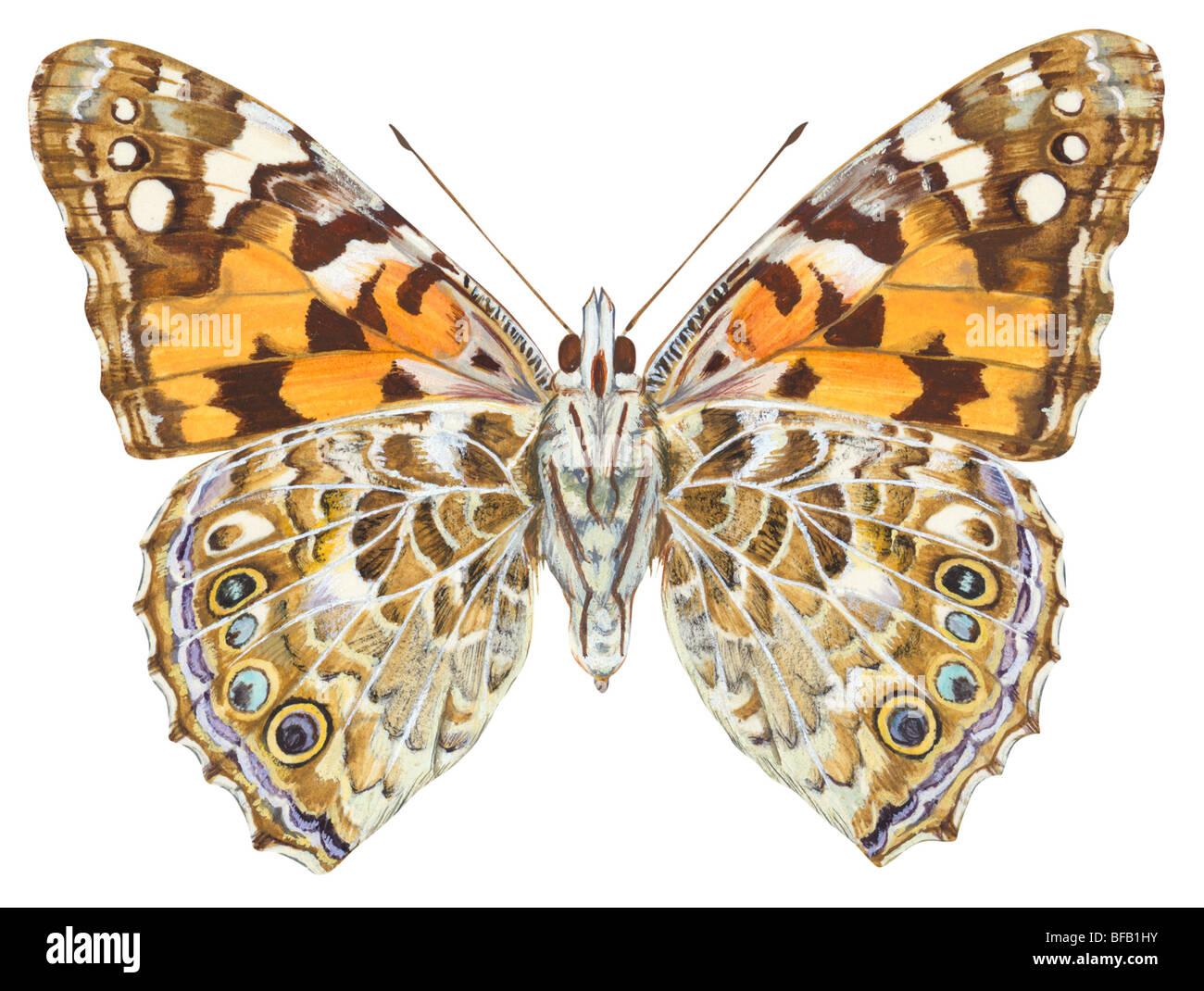 Painted Lady butterfly (Vanessa virginiensis). Imagen De Stock