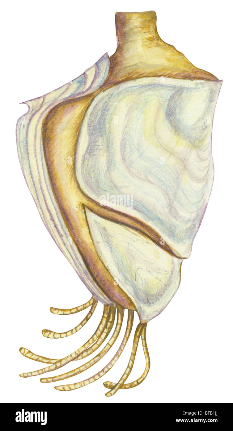 Percebe de cuello de cisne Foto de stock