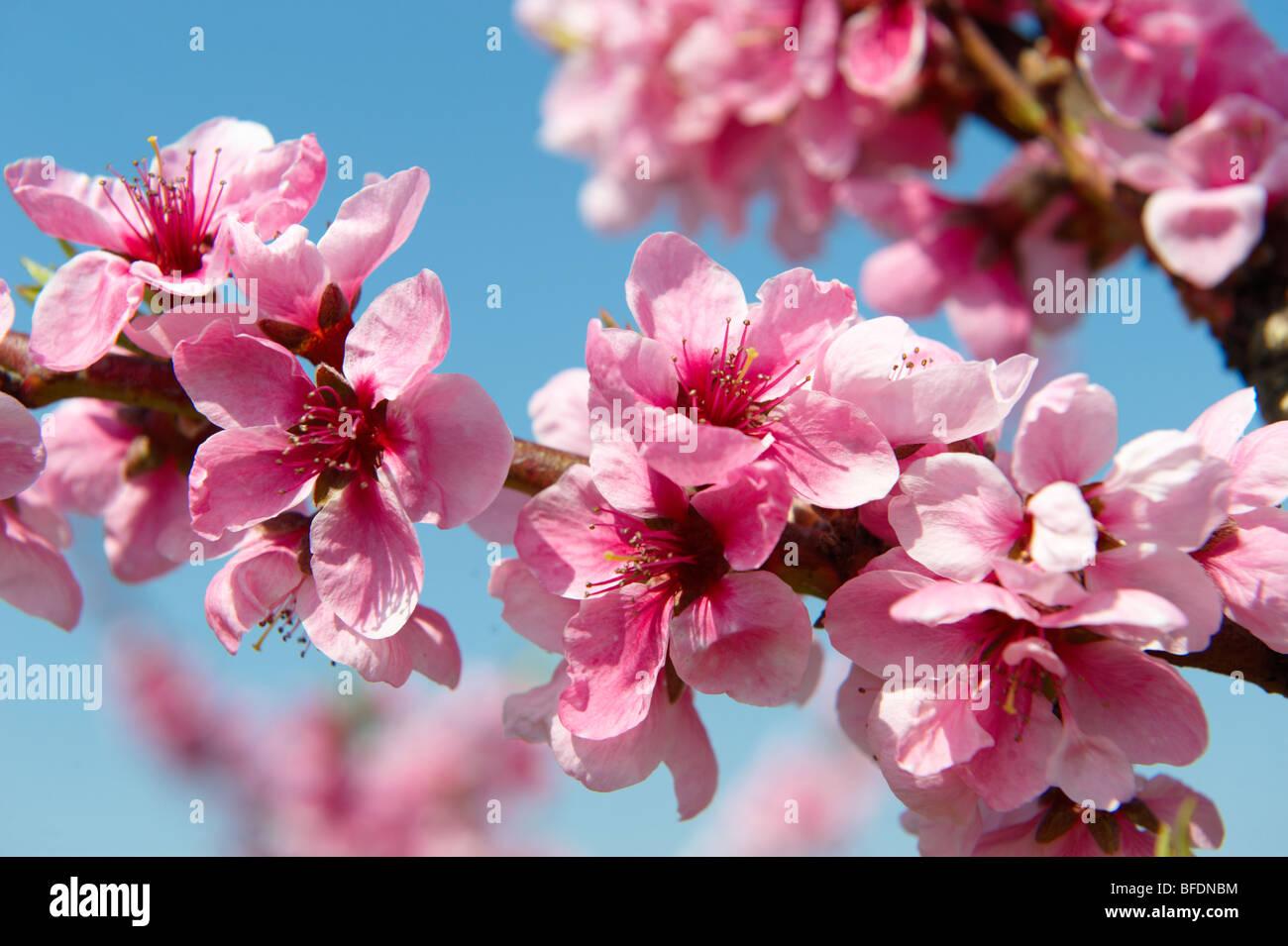 Damascos en flor rosa en el árbol, en Koszeg, Hungría Imagen De Stock