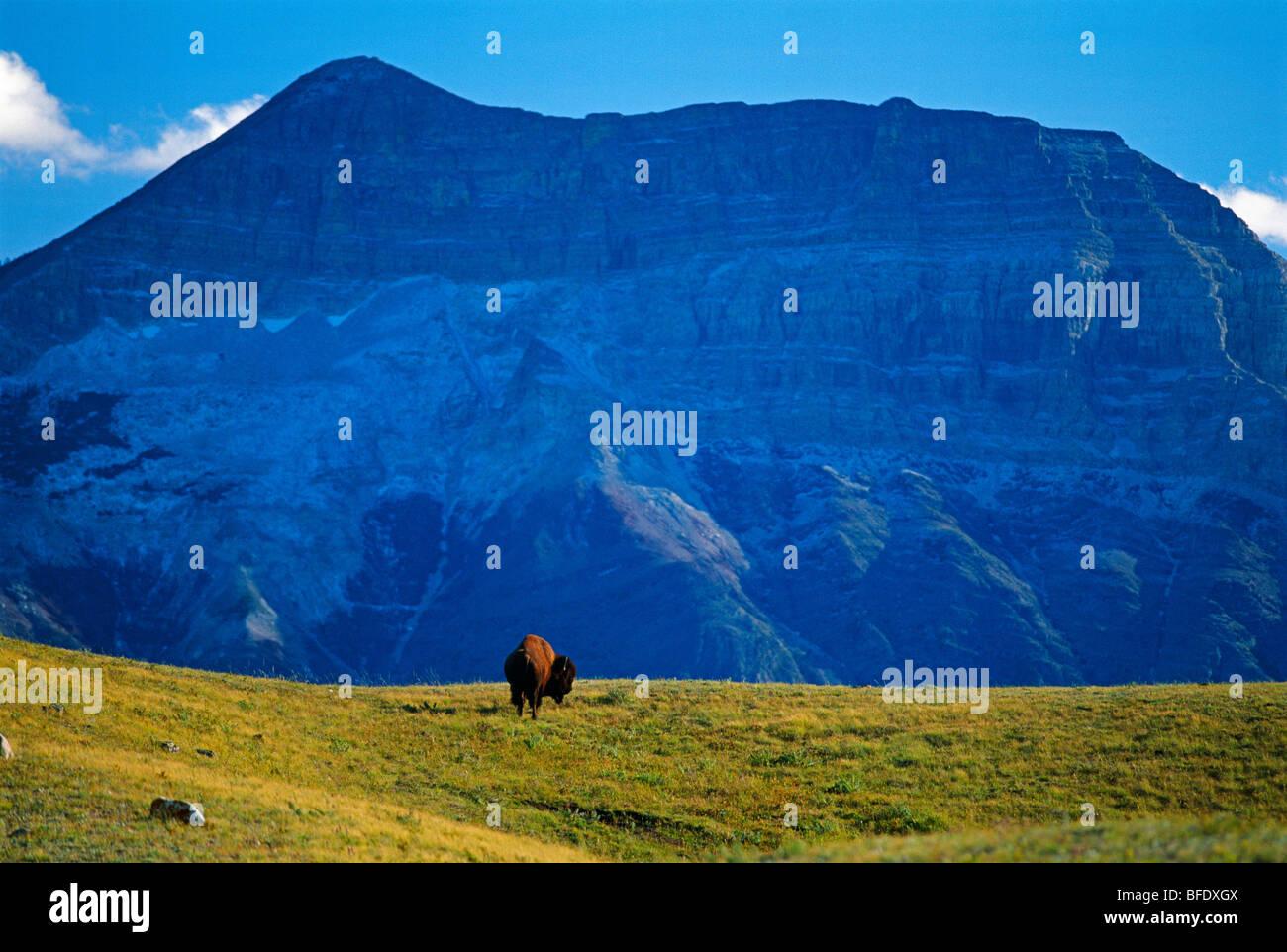 El bisonte (Bison bison) en el campo con Vimy pico en el fondo, el Parque Nacional Waterton Lakes en Alberta, Canadá Imagen De Stock