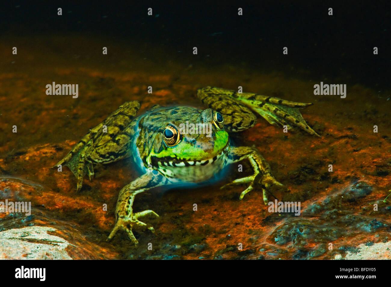 Close-up de rana verde (Rana clamitans) en el borde del estanque, Killarney Provincial Park, Ontario, Canadá Imagen De Stock