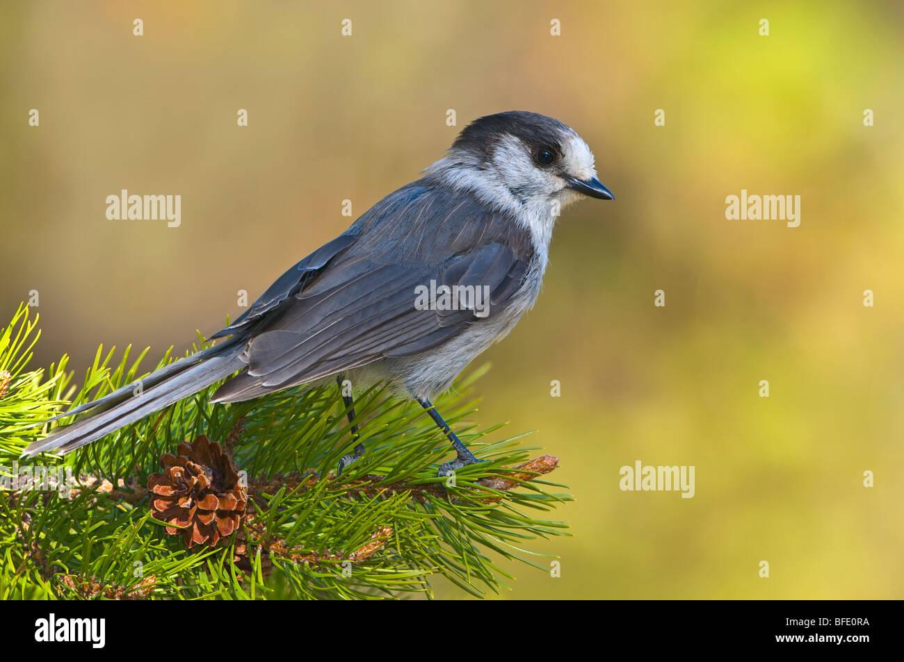 Gray jay (Perisoreus canadensis) en el Parque Provincial Manning, British Columbia, Canadá Imagen De Stock
