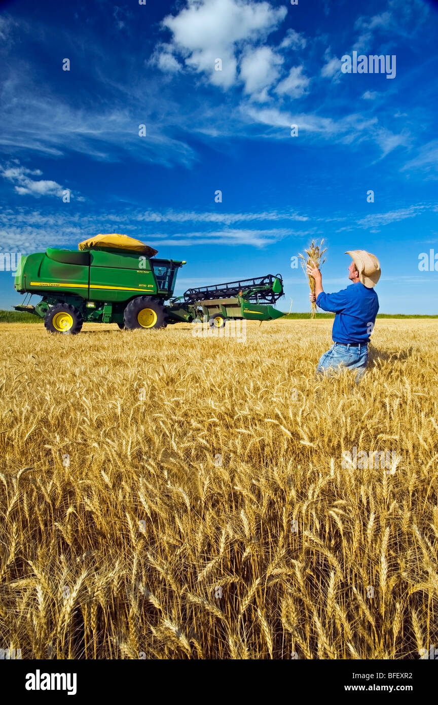 Un hombre comprobaciones durante la cosecha de trigo de invierno cerca de Kane, Manitoba, Canadá Imagen De Stock