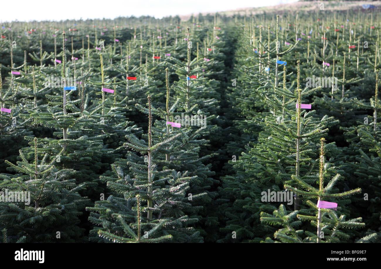 Filas de Nordman y nobles abetos crecen en una granja en el Nordeste de Escocia y listos para ser talados para la venta de árboles de Navidad Foto de stock