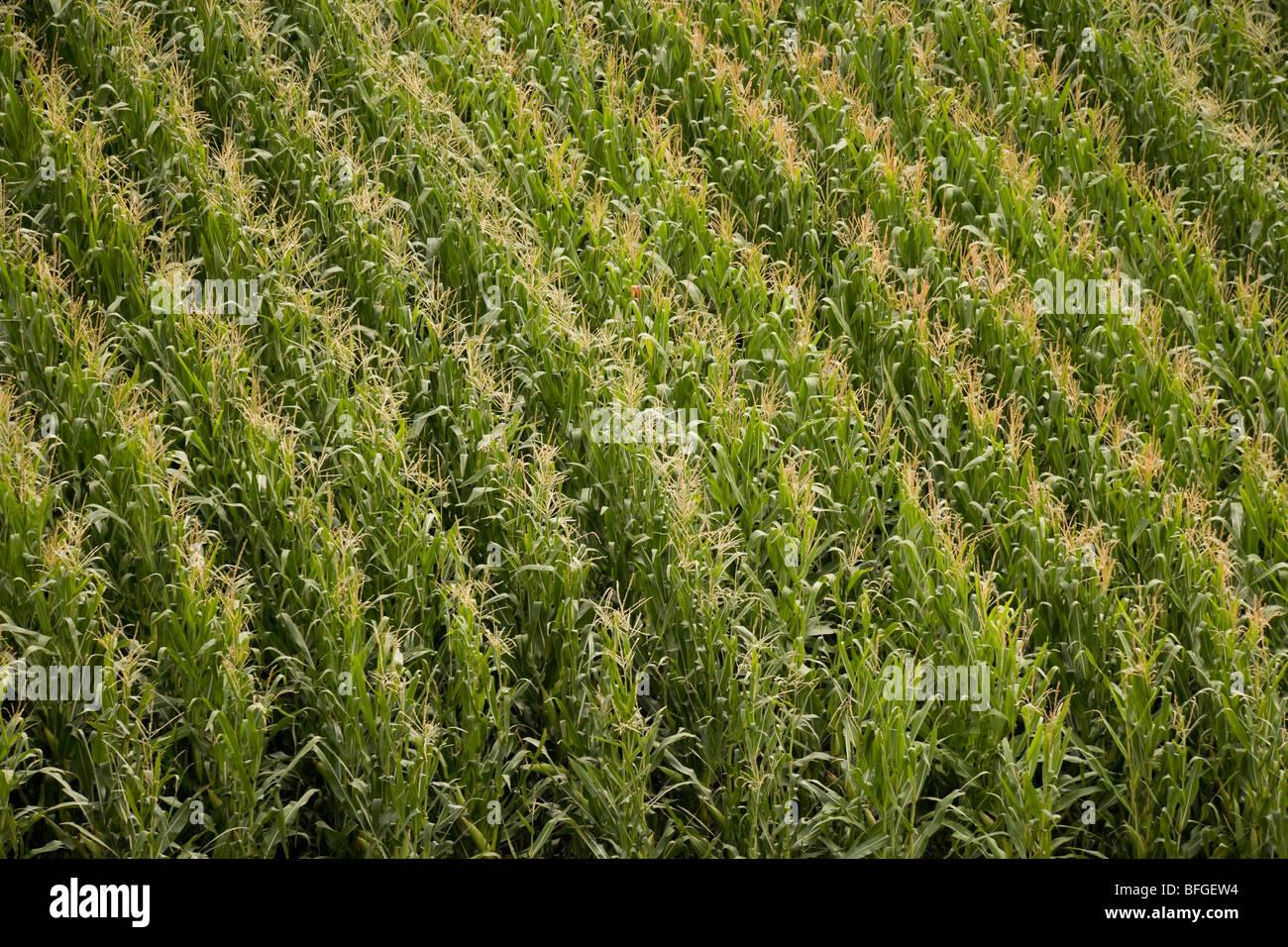 Vista aérea de un campo de maíz de maíz americano con borlas en verano. Nebraska, Great Plains, EE.UU. Imagen De Stock