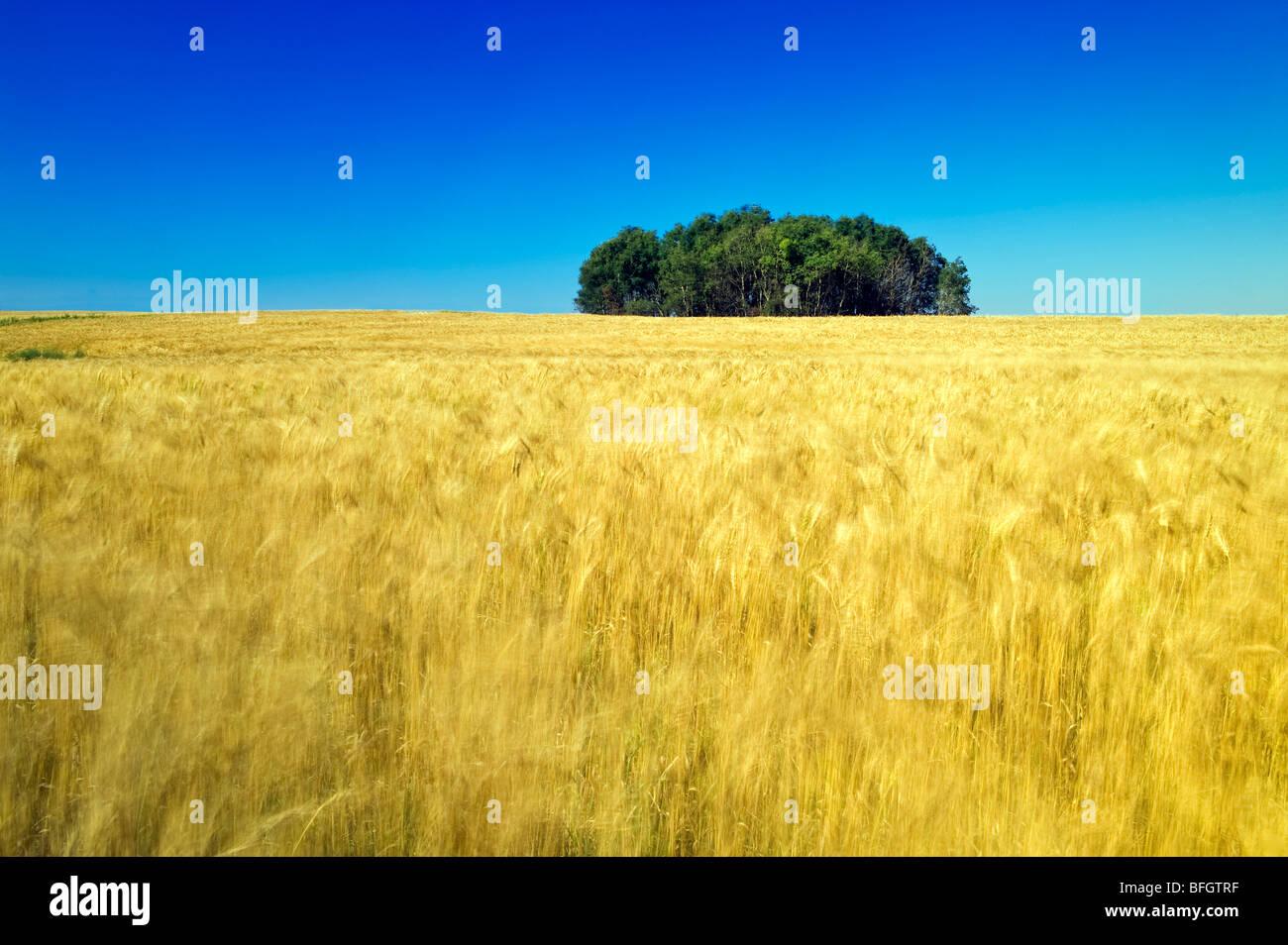 Campo de grano. Manor, Saskatchewan, Canadá Imagen De Stock