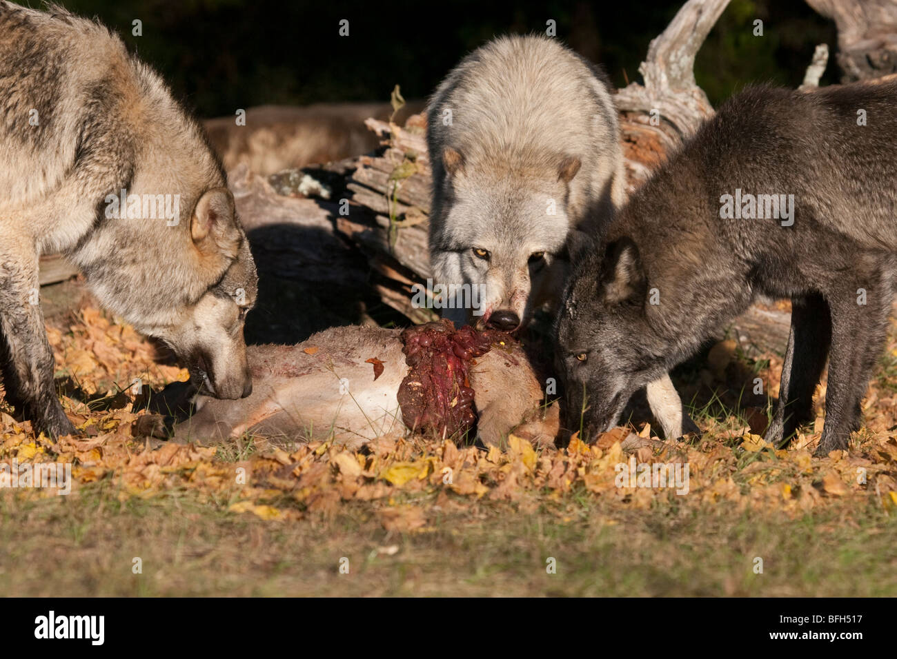 Pack de madera, o grises, lobos con matar un ciervo. Foto de stock