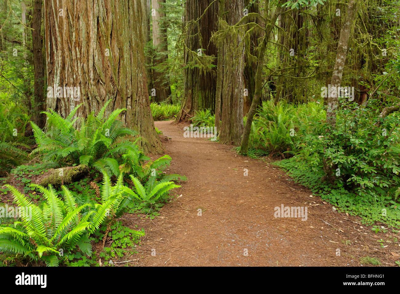 El bosque antiguo camino que corre a través de las altísimas secoyas de Del Norte Costa Redwoods State Park Foto de stock
